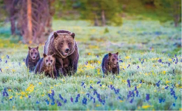 FWP to host Grizzly Bear Education and Outreach summit in Helena