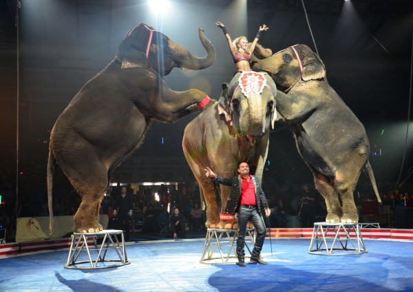 Two elephants lean on the backs of third elephant in the middle for a circus performance.