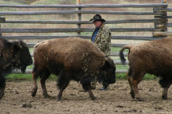 Bison rancher Steve Mitchell spreads feed for his animals.