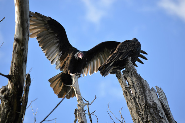A large black bird perches on the top of a dead tree, its spread wings revealing a huge wingspan.