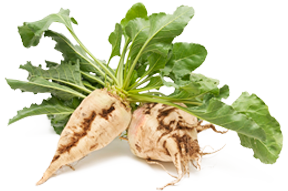 Two sugarbeets, harvested fully grown, lay on a white background.