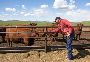 Boyce Ranch Foreman Allen Beard laughs as a curious cow licks his hand at the feedlot. Photo by Jenny Gessaman