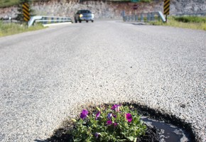 A foot-long pothole made the perfect home for some petunias on Timberline Road Tuesday morning. Photo by Jenny Gessaman